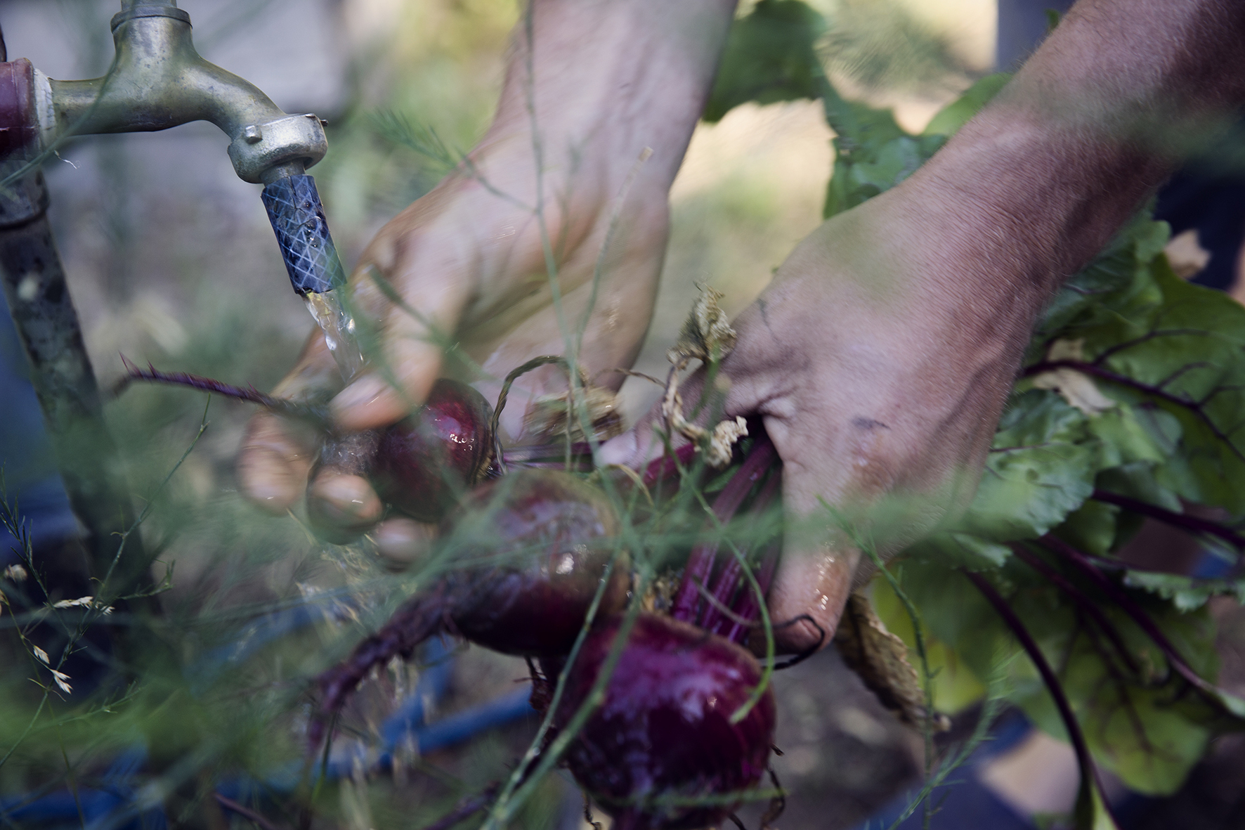 washing feshly picked beets in the gardens of Ranquilco