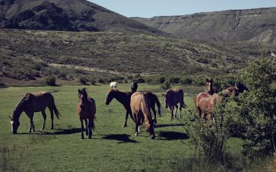 Argentine criollo horses grazing on the ranch