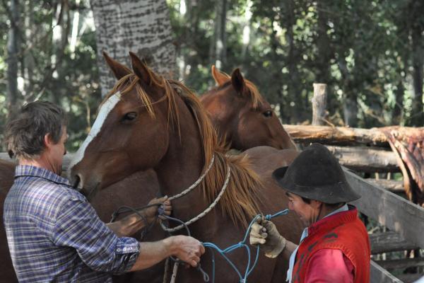Gauchos haltering a young criollo horse at Estancia Ranquilco