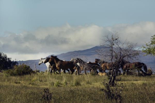 Criollo horses running through the pasture with mountains in the background