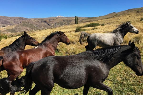Criollo horses running through the pasture at Estancia Ranquilco in Patagonia Argentina