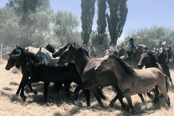 Gauchos using horses to trample wheat to separate the berries from the chaff