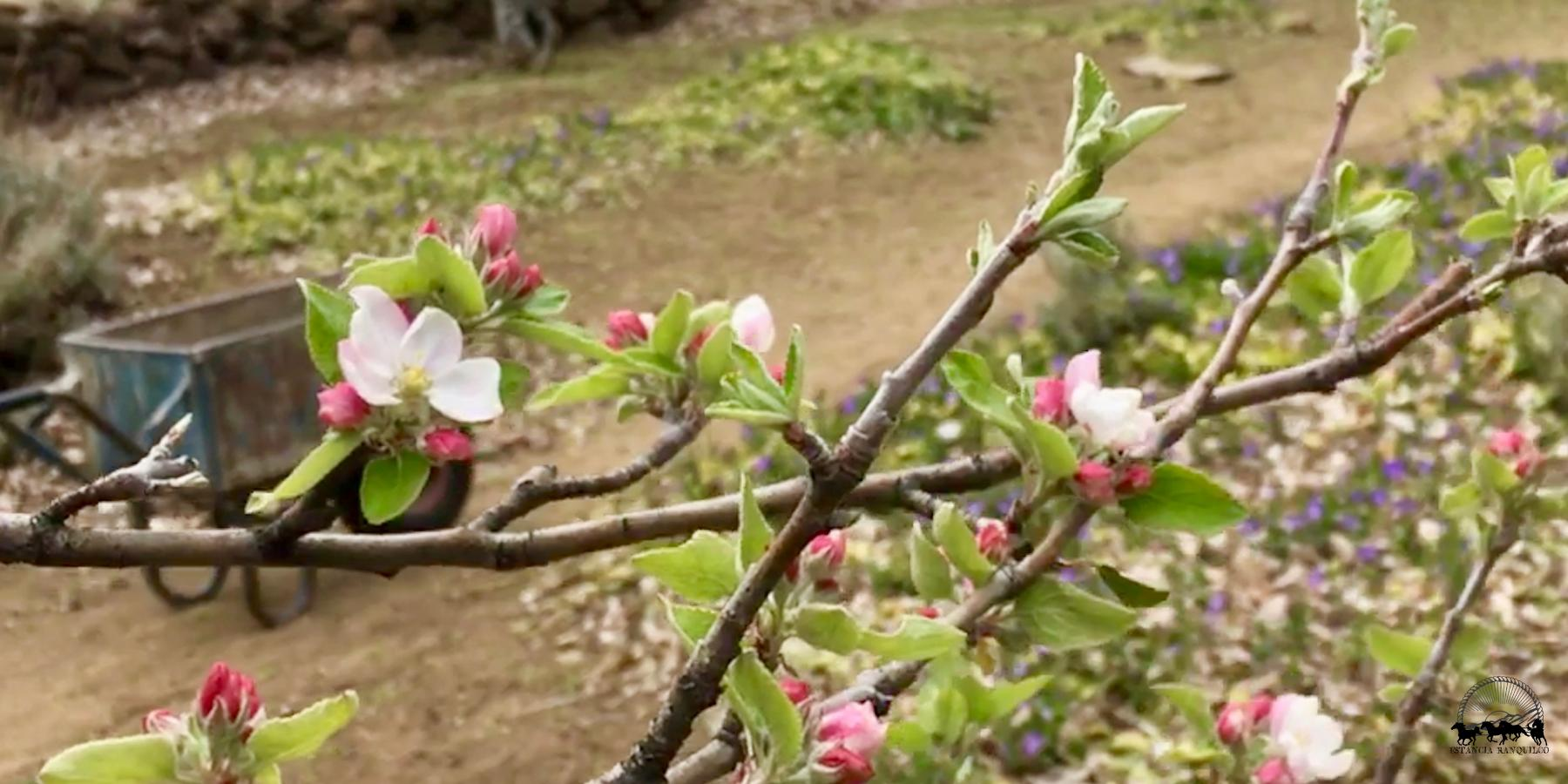 Apple blossoms begin to bloom in spring at Estancia Ranquilco