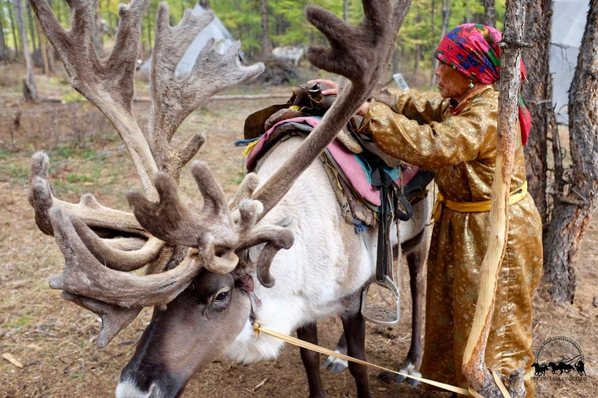 Reindeer herder saddling a large reindeer in Northern Mongolia on an Estancia Ranquilco horse pack trip
