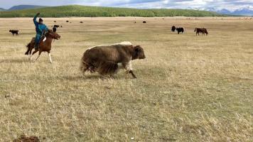 Nomadic Mongolian herder herding his yak home