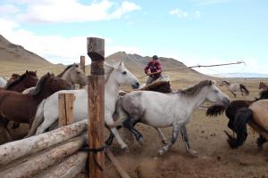 Mongolian herdsman organizing his horses with an uurga
