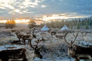 Reindeers on a cold morning in Northern Mongolia