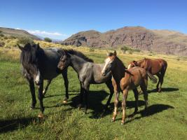 Criollo quarter horse crosses in Argentina
