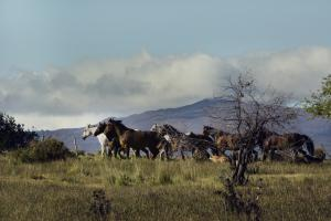 a group of Ranquilco Criollo horses with mountains the background