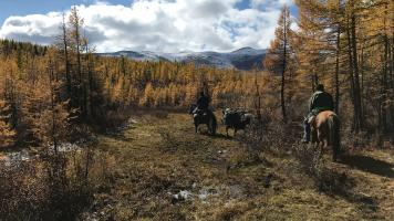 Riders on horseback riding through the taiga forest in Northern Mongolia in search of the Tsaatan reindeer herders