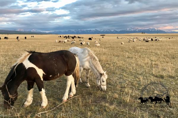 Horses and livestock grazing on the Mongolian steppe at sunset on an Estancia Ranquilco horse pack trip